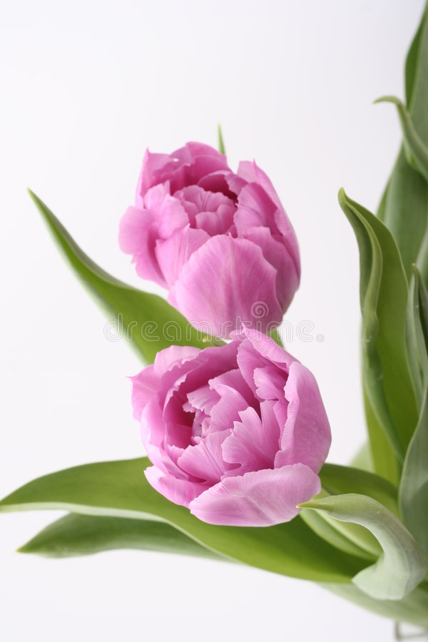 Free Tulips Stock Images - 2088624