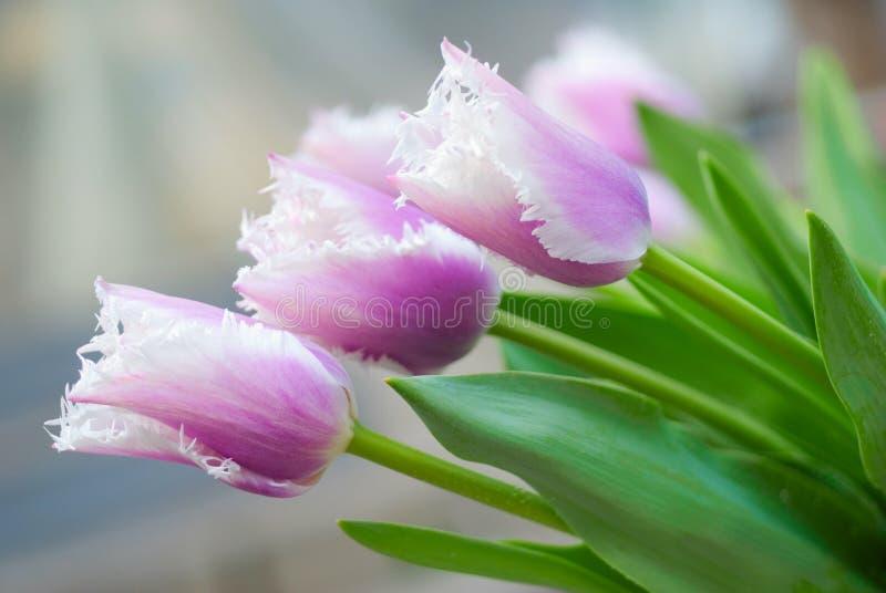 Tulips imagem de stock
