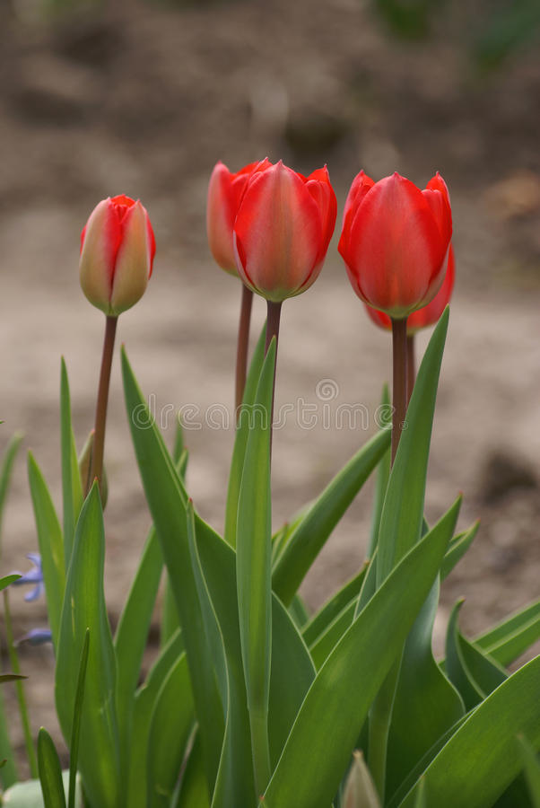 Download Tulips Royalty Free Stock Images - Image: 22919469