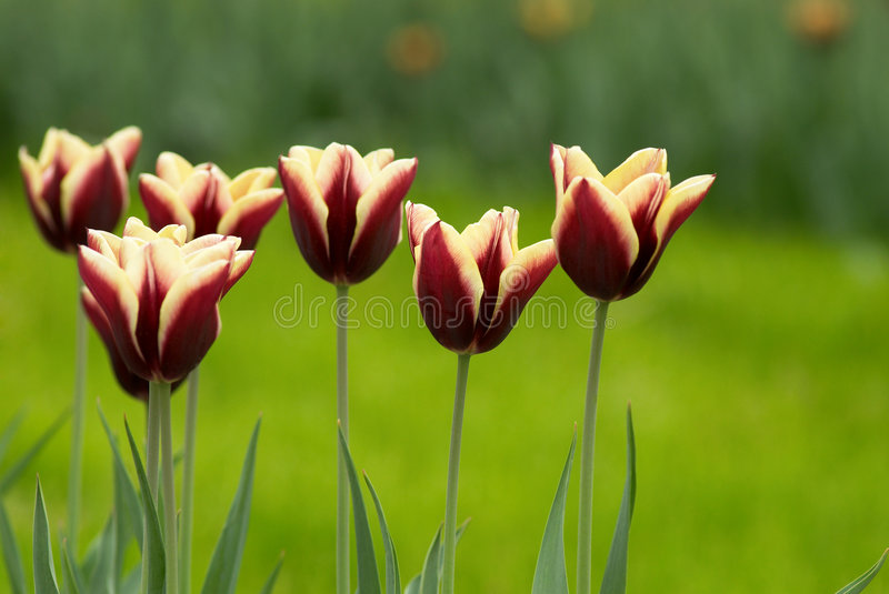 Download Tulips Stock Photos - Image: 2306093
