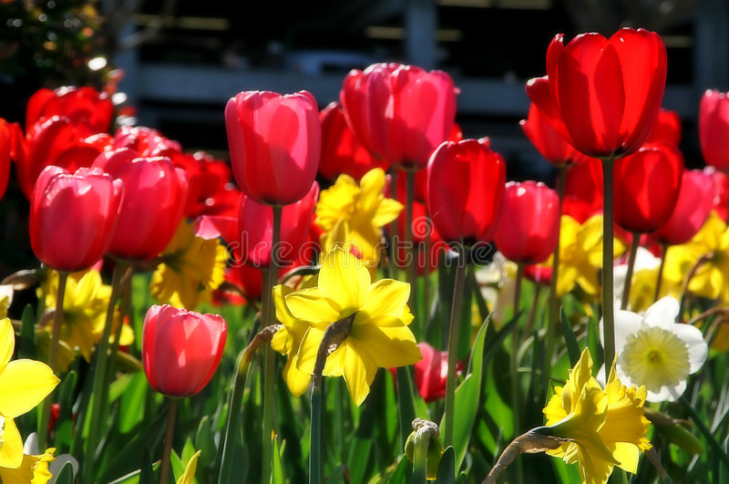 Download Tulips. Stock Photography - Image: 2317742