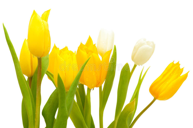 Download Tulips stock image. Image of background, drop, bunch - 23875473