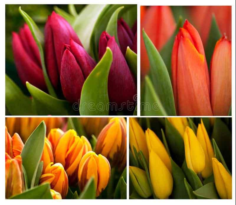 Download Tulips stock photo. Image of flora, blossom, leaves, bloom - 25401332