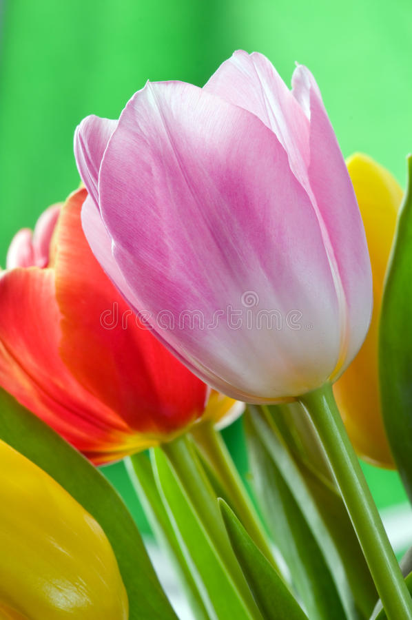 Download Tulips stock photo. Image of freshness, background, easter - 25786776