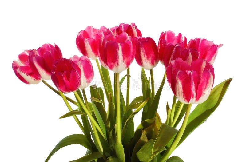 Download Tulips stock photo. Image of cutout, celebration, glorious - 25911494