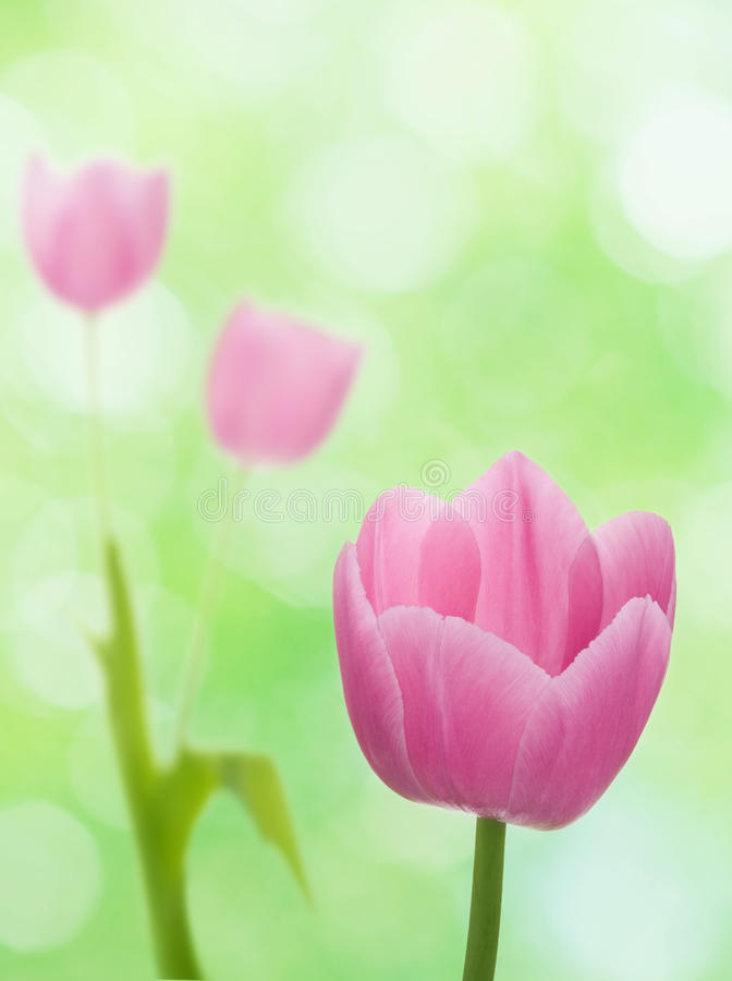 Download Tulips stock image. Image of bloom, beautiful, group - 26406609