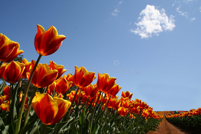 Tulips stock photography