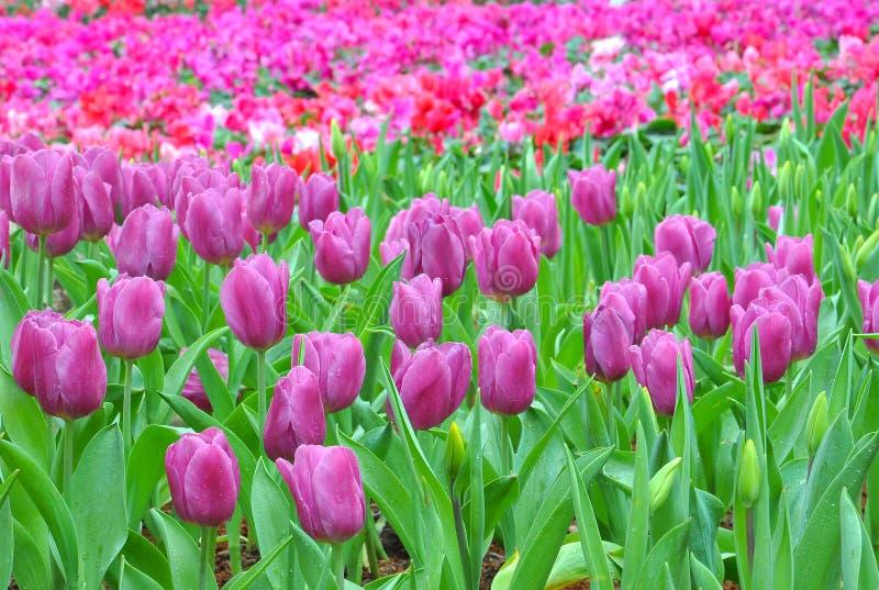 Download Tulips stock photo. Image of scene, petal, season, rural - 28867074