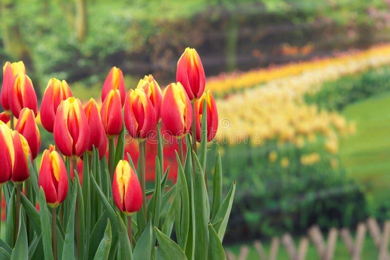 Download Tulips stock photo. Image of tulip, macro, garden, leaves - 29372262