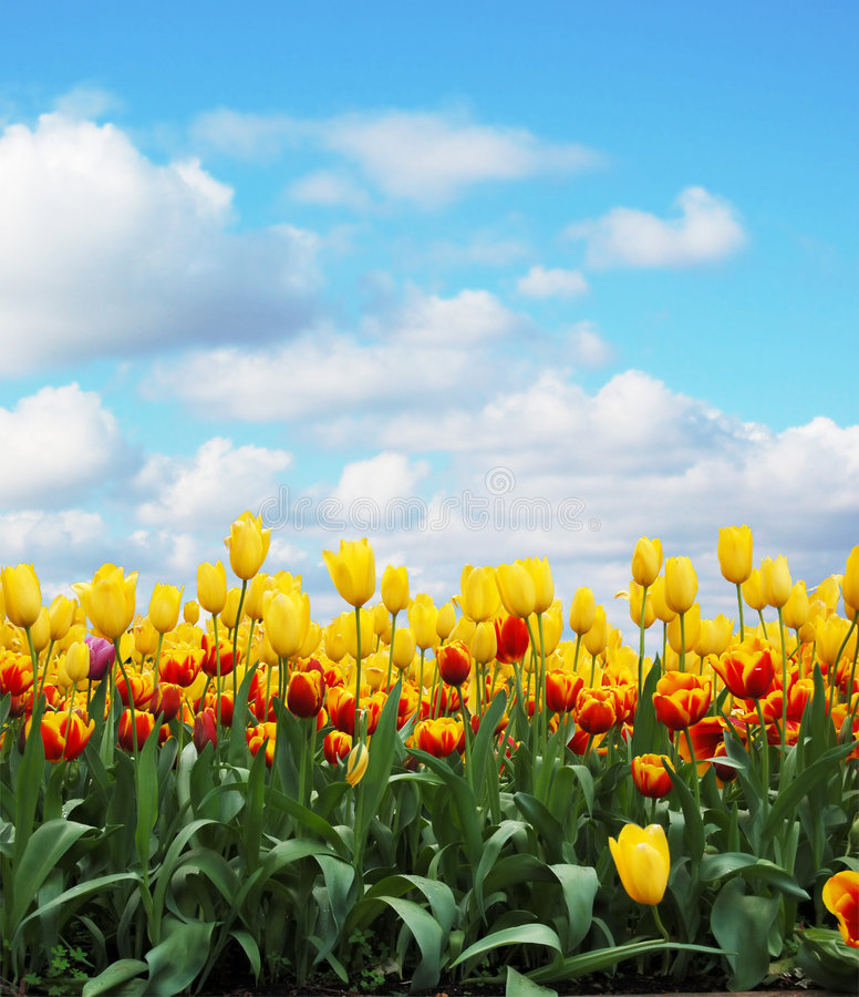 Download Tulips stock photo. Image of colorful, nature, pretty - 3169008