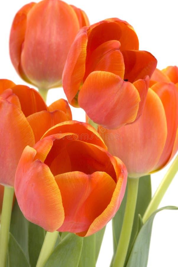 Tulips fotos de stock