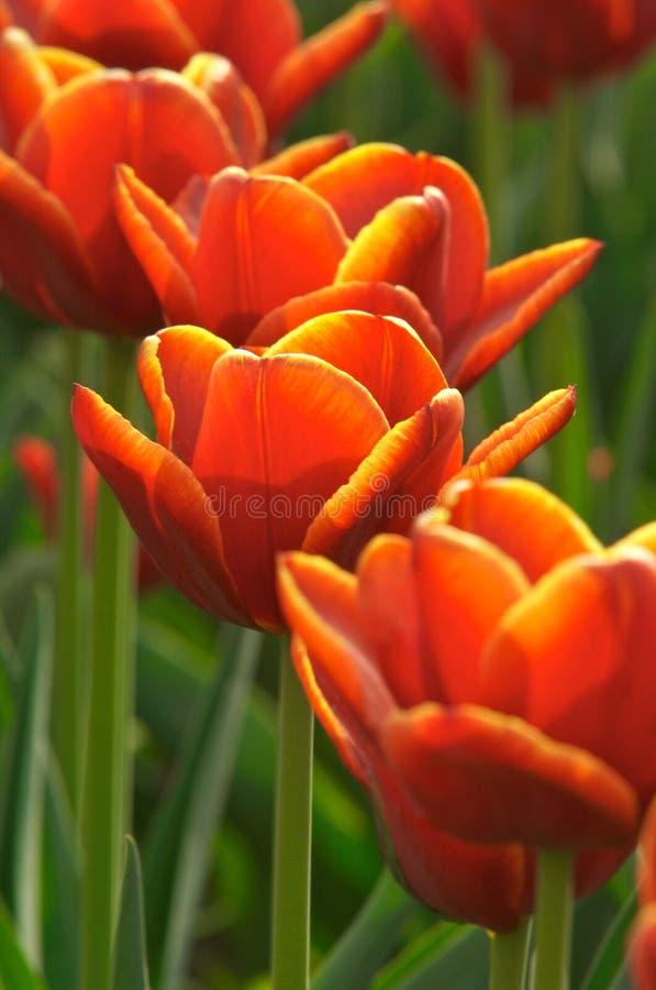 Free Tulips Royalty Free Stock Photo - 4173835