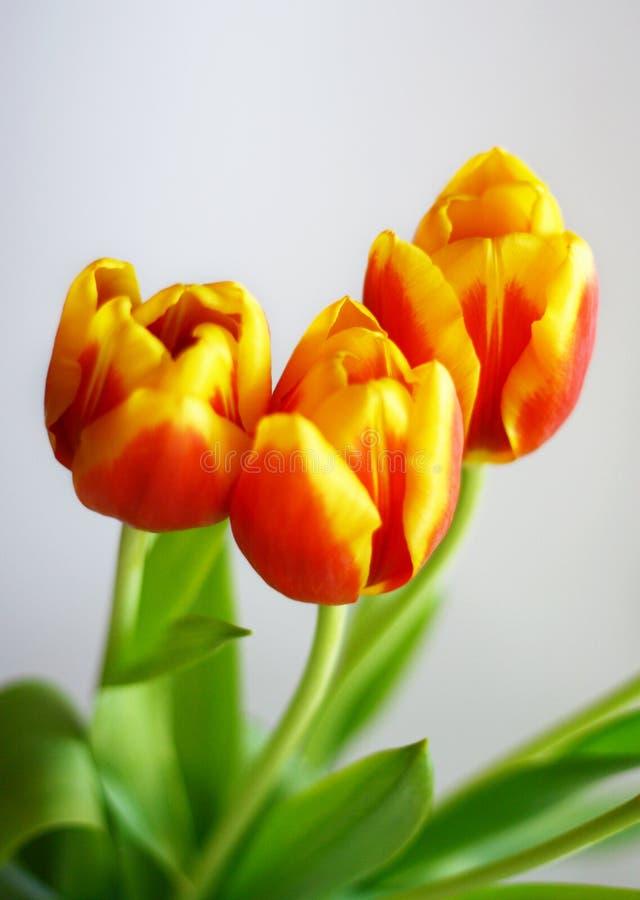 Free Tulips Royalty Free Stock Photo - 4664775