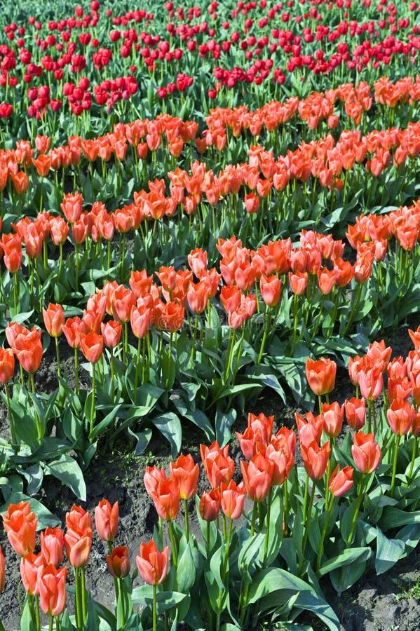 Download Tulips stock photo. Image of flowers, corolla, beautiful - 4876032