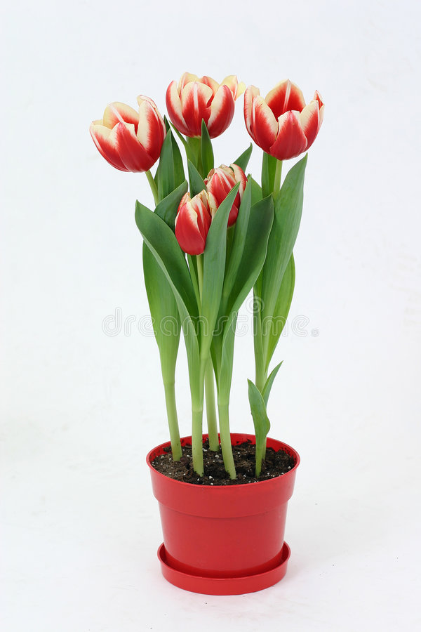 Download Tulips stock photo. Image of flowers, plant, yellow, green - 503398