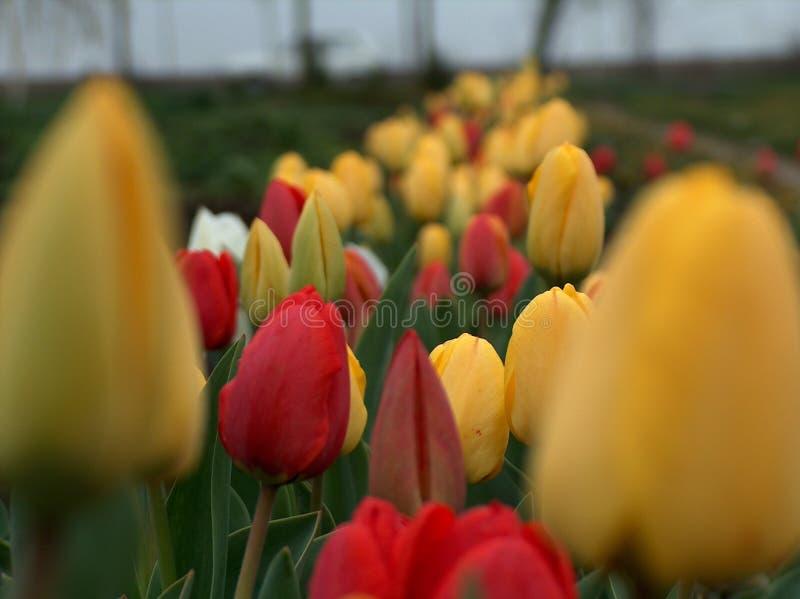 Download Tulips stock photo. Image of beautiful, tulips, yellow - 508694