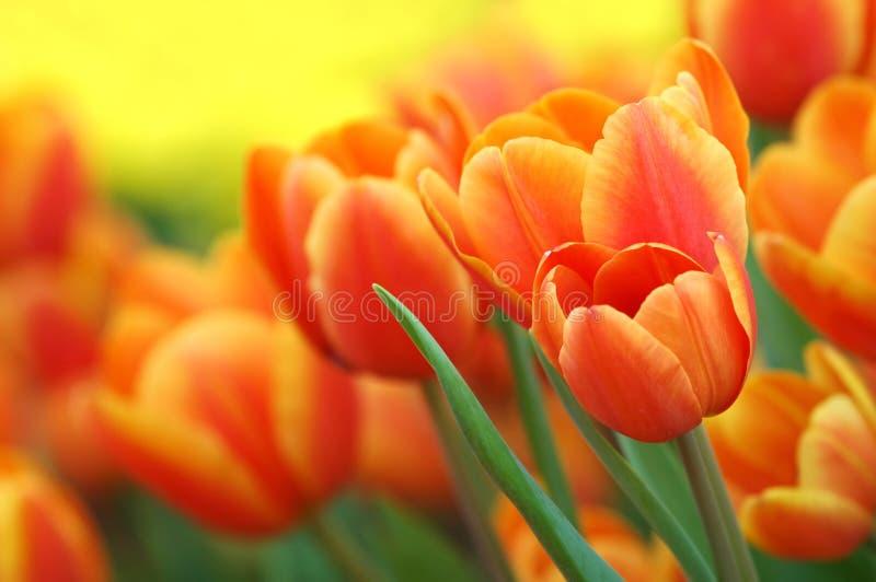 Tulips. Orange tulips growing in the garden