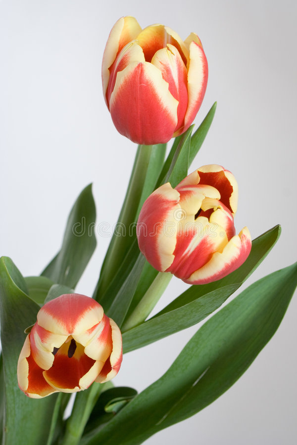 Free Tulips Royalty Free Stock Photography - 626787
