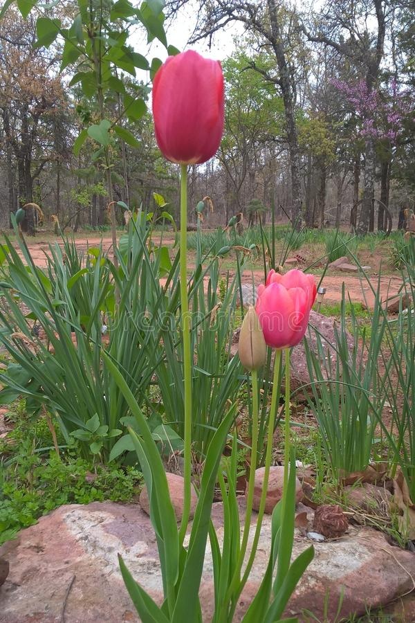 Free Tulips Royalty Free Stock Photo - 90059125