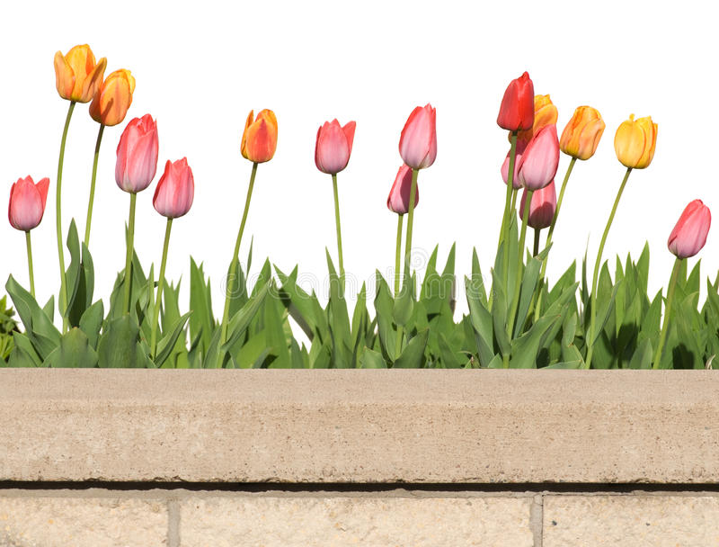 Download Tulips stock image. Image of wall, border, colorful, tulips - 9371155