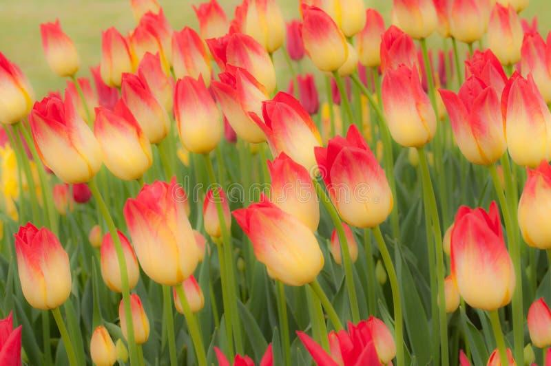 Tulips abstratos fotos de stock