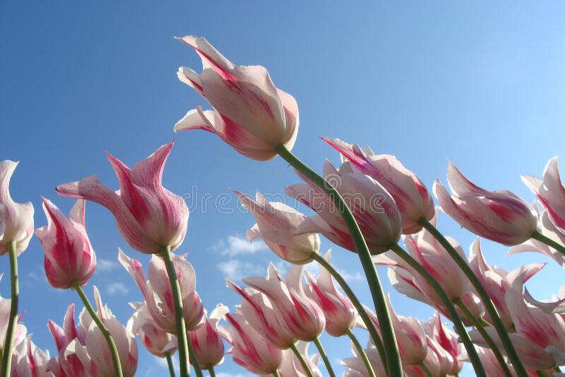 Tulips against blue skies stock photos