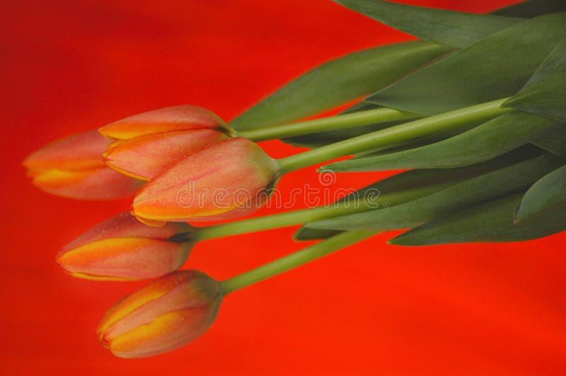 Tulips Alaranjados Foto de Stock Royalty Free