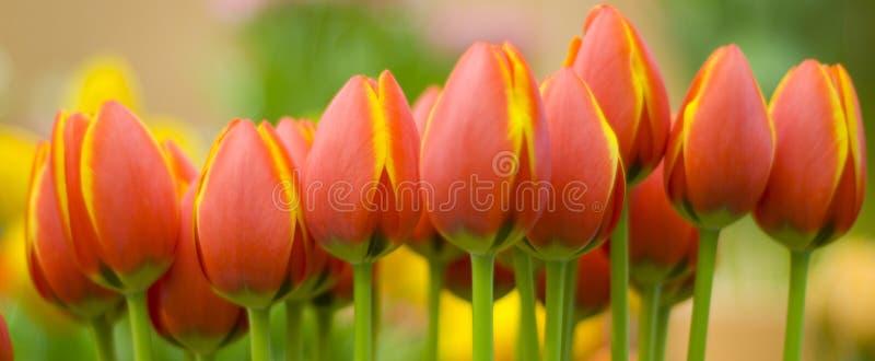 Tulips alaranjados amarelos foto de stock