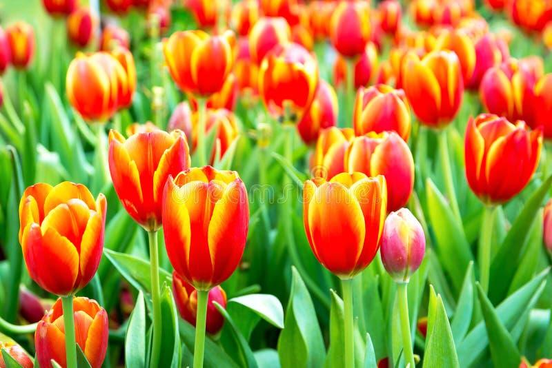 Tulips alaranjados bonitos foto de stock