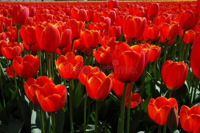 Tulips alaranjados na mola fotos de stock