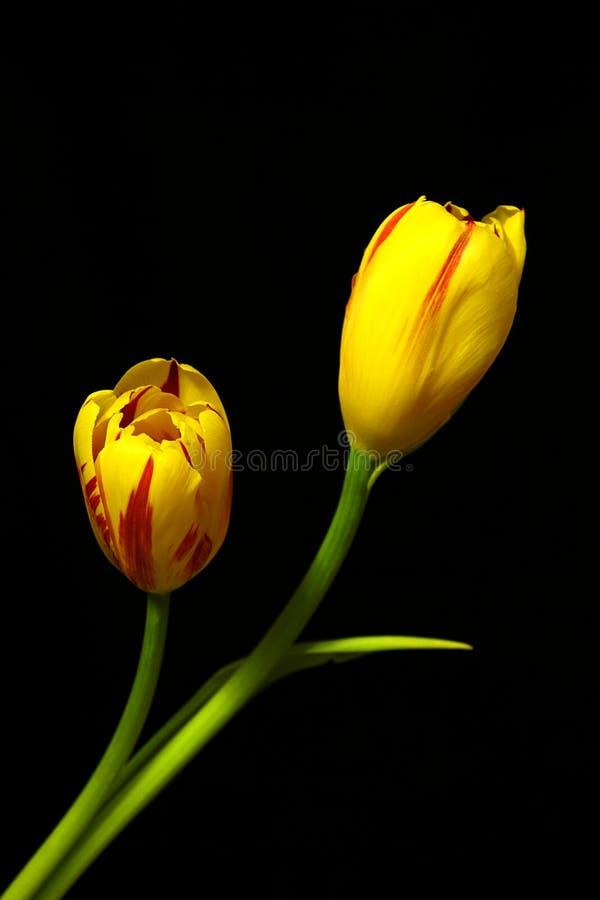 Tulips amarelos foto de stock
