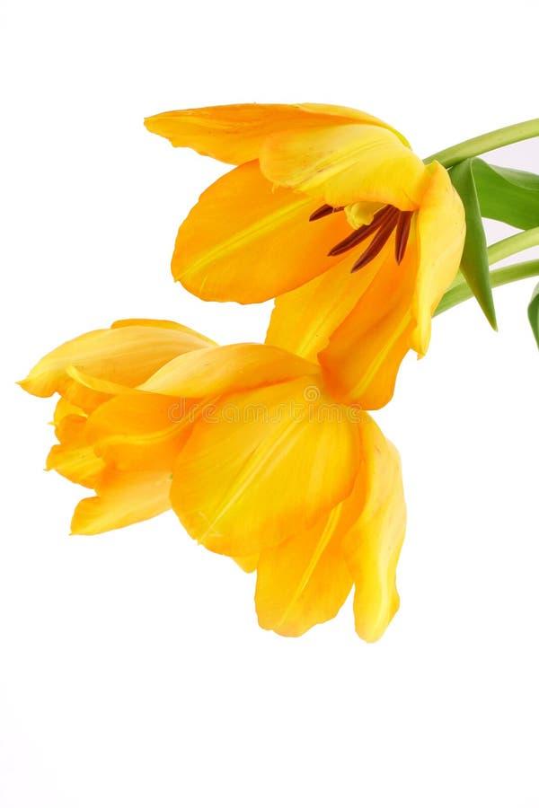 Tulips amarelos fotos de stock royalty free