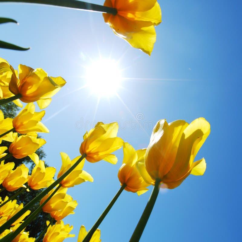 Tulips amarelos de encontro ao céu imagens de stock royalty free
