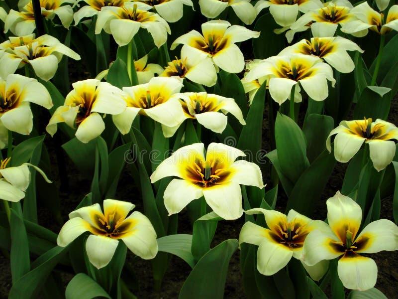 Tulips amarelos e brancos foto de stock royalty free