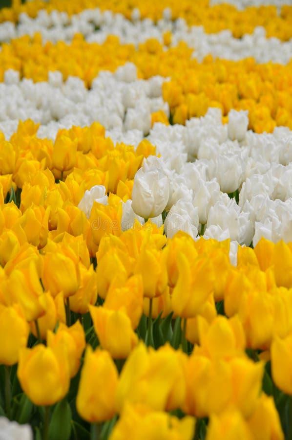 Tulips amarelos e brancos fotos de stock