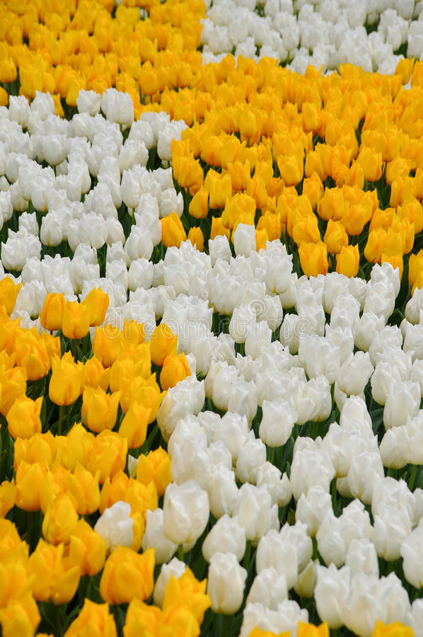 Tulips amarelos e brancos foto de stock