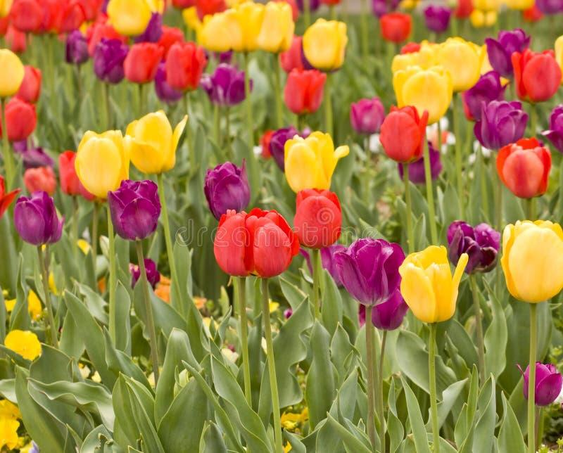 Tulips amarelos e roxos vermelhos imagem de stock royalty free