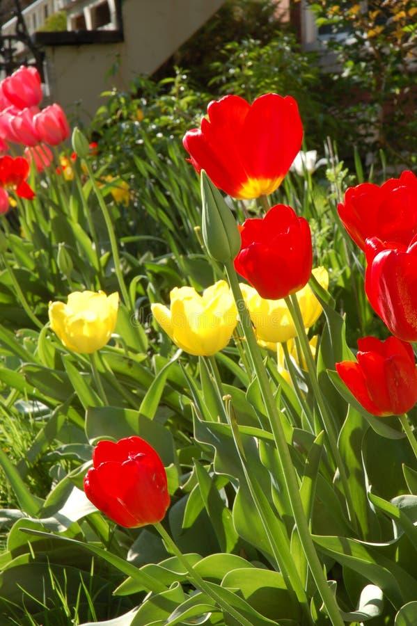 Tulips amarelos e vermelhos imagem de stock royalty free