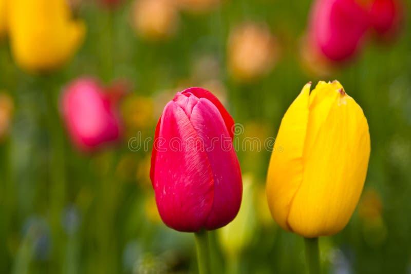 Tulips amarelos e vermelhos bonitos foto de stock