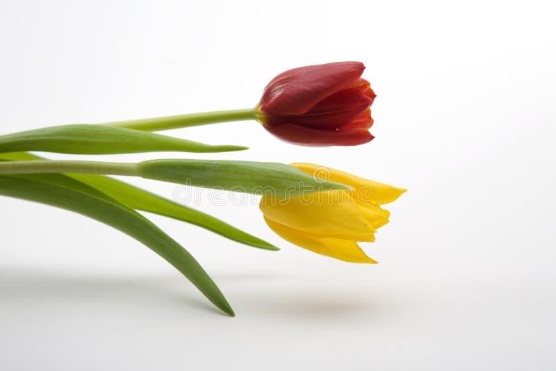 Tulips amarelos e vermelhos holandeses imagem de stock royalty free