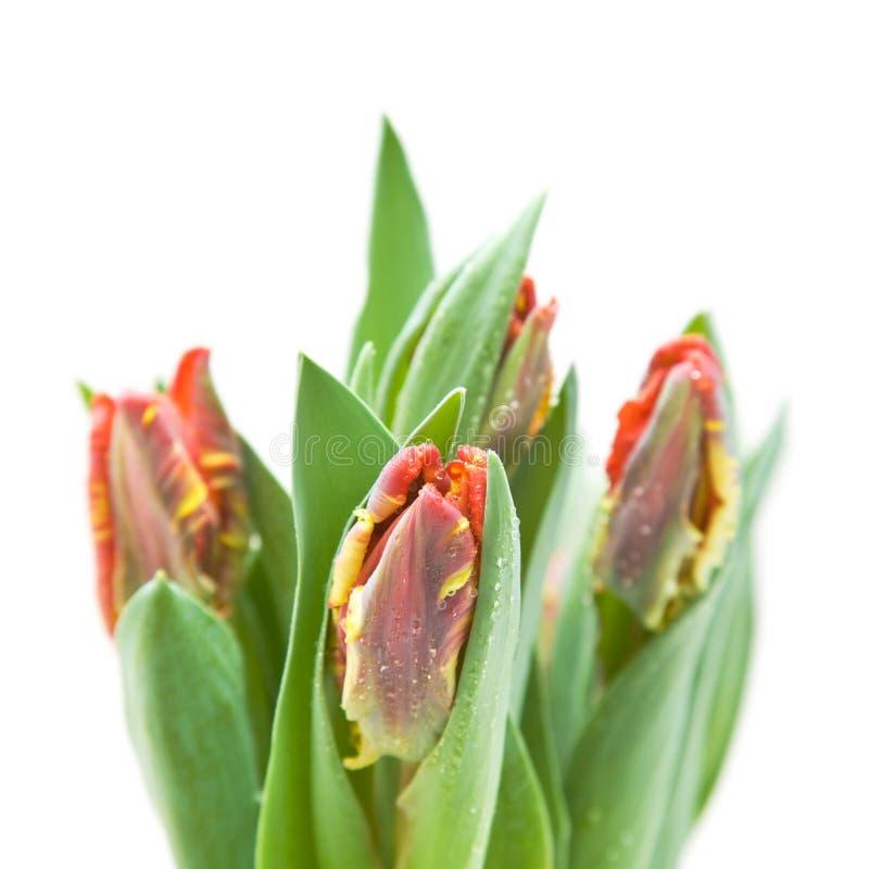 Tulips amarelos e vermelhos molhados do papagaio imagem de stock royalty free