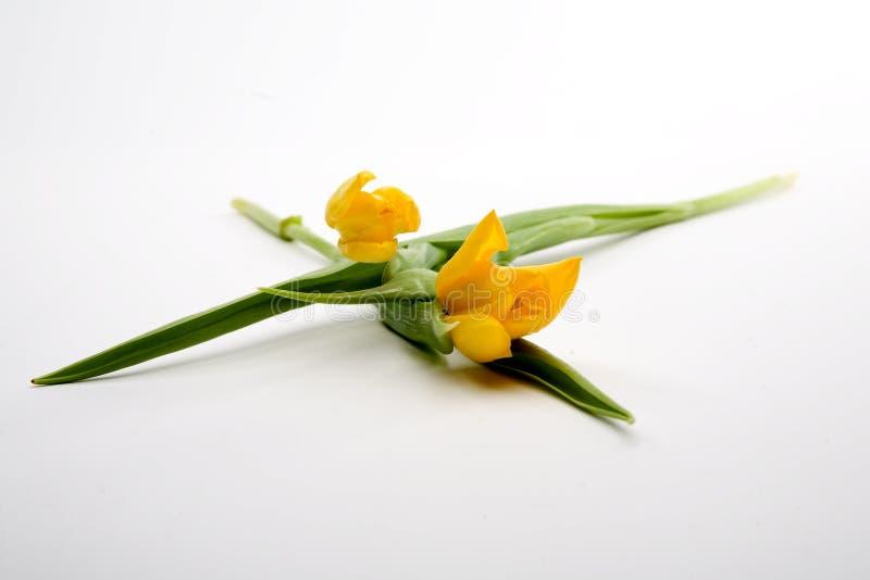 Tulips amarelos holandeses fotos de stock royalty free