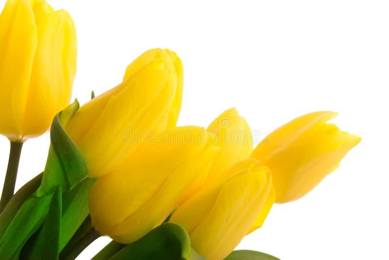 Tulips amarelos isolados no branco fotos de stock royalty free