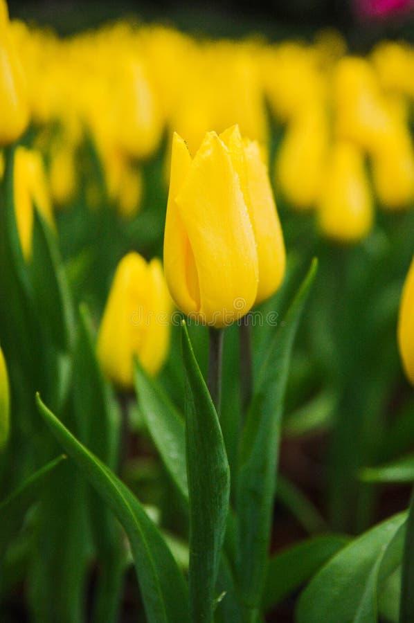 Tulips amarelos no jardim imagem de stock