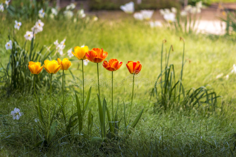 Tulips in amsterdam royalty free stock images