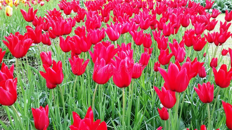 Tulips Amsterdam Holland Flowers Colorful stock photography