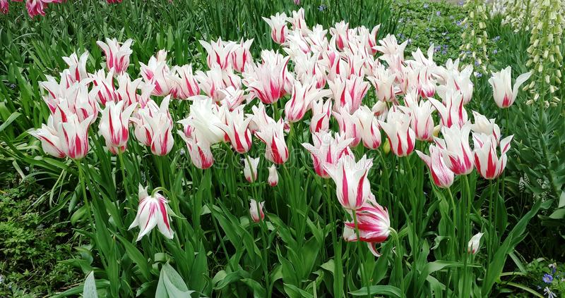 Tulips Amsterdam Holland Flowers Colorful royalty free stock photography