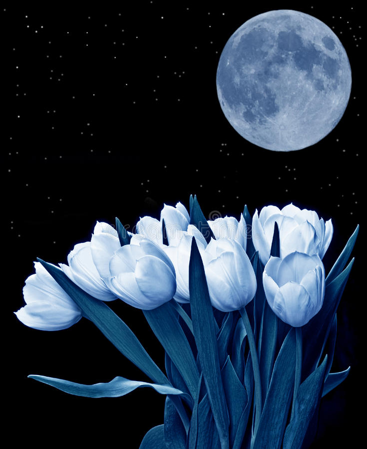 Free Tulips And The Moon Royalty Free Stock Photography - 20992787
