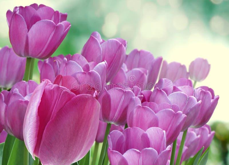 Tulips Arrangement Stock Photography