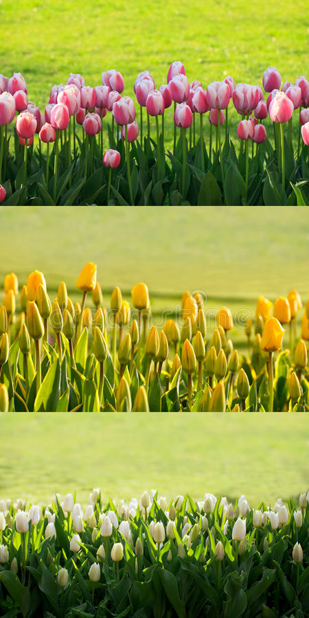 Download Tulips backgound stock image. Image of decoration, bulbous - 20370729